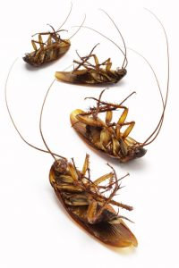 cockroach control Randwick Kensington Kingsford and other Eastern Suburbs Sydney